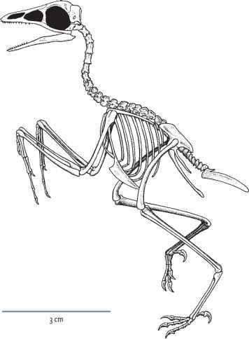 Enantiornithes Coracoid