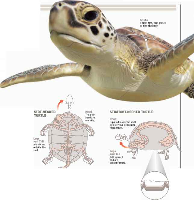 Internal Respiratory System Turtle