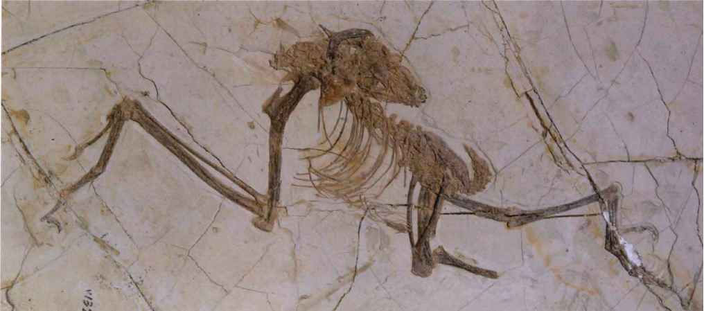 Archaeopteryx Coracoid