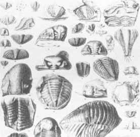 19th Century Illustrations Fossils