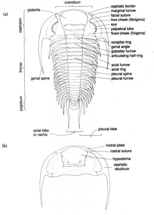 Paradoxides Trilobite With Naming